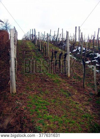 Vineyard In The Spring Time