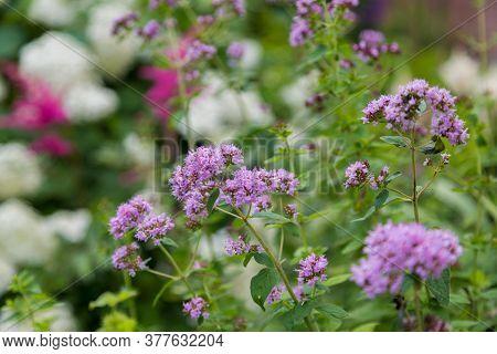 Purple Verbena Tiny Flowers In The Garden