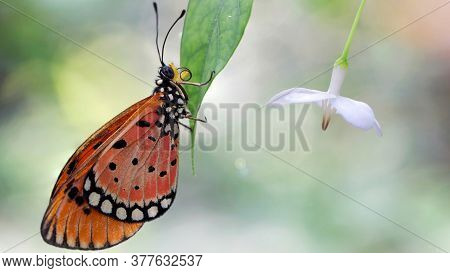 elegant orange monarch butterfly resting on a leaf next to a white flower. macro photography of this gracious and fragile Lepidoptera in a tropical botanical garden in Chiang Mai, Thailand