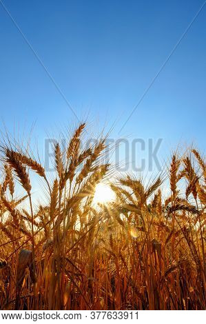 Golden Ripe Wheat Ears In Evening On The Field At Sun And Blue Sky Background.