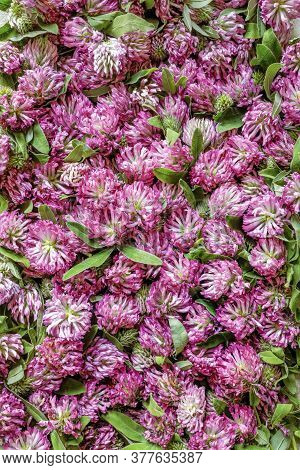 Pink Clover Flowers. Medicinal Herb Clover Background For Design On The Theme Of Folk Medicine