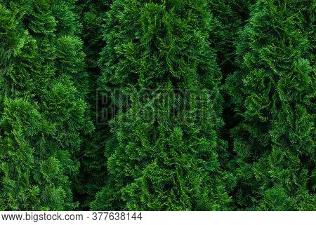 Thuja Leaves Texture, Conifer Hedge Green Background, Full Frame