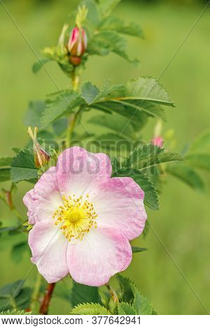 Pink Rosehip Flower Close-up. Wild Rose Bush Blooms In The Spring.