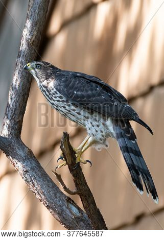 Colorado Wildlife. Juvenile Coopers Hawk Perched In A Tree.
