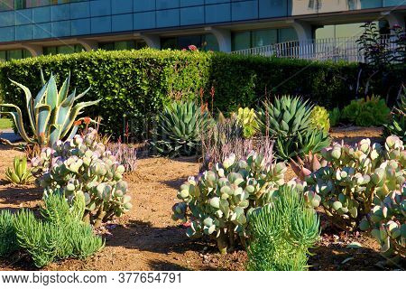Chaparral Shrubs, Agave Plants, And Flowers At A Drought Tolerant Garden Taken In A Public Courtyard