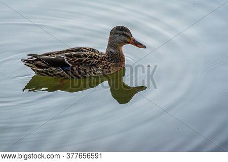 A Brown Mallard Swimming At Colorado Springs, Colorado