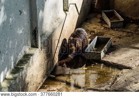 Nutria In A Cage Near The Pool