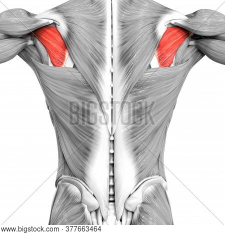 3d Illustration Concept Of Human Muscular System Torso Muscles Infraspinatus Muscle Anatomy