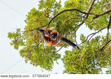 Madagascar Red Ruffed Lemur Feeding On Tree Top, Varecia Rubra, Masoala Rainforest, Madagascar Wildl
