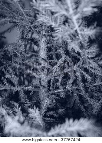 pine tree background *cyanotone