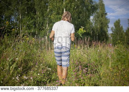 A Man Collects Herbs In The Summer In The Field. Collection Of Plants For Tea In Nature. The Guy Is