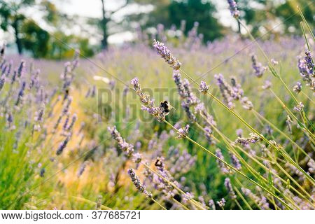 Bumblebees Collect Pollen From The Flowering Flowers Of Lavender.