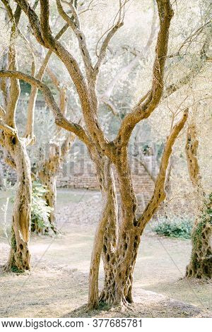 Sunset Sunlight In A Multi-storey Olive Grove. Tree Trunks Entwined With Ivy.