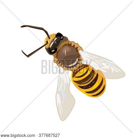 Honey Bee Isolated On White Background. Flying. Striped Flying Bumblebee In Top View. Insect Symbol