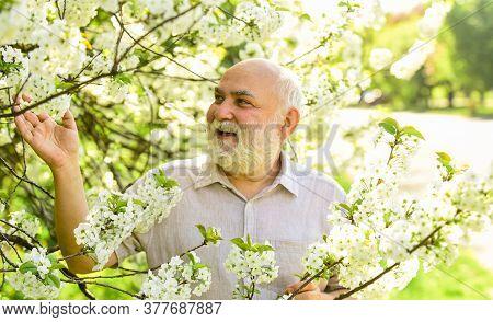 Old Man Enjoy Cherry Flowers. Bearded Grandfather In Garden. Man Enjoy Spring Nature. Gardening Hobb