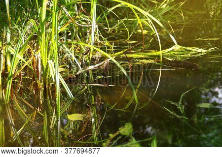 Natural Wetland With The Plants In Water. Concept Of Nature, Ecology And Environment Care. Restored