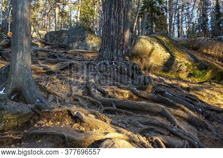Tree Roots Protruding Above The Ground In The Forest.