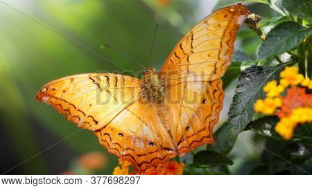 gracious butterfly with wide orange wings about to fly away, macro photo of this elegant and fragile Lepidoptera in a tropical botanical garden, Chiang Mai, thailand