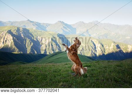 Hiking With A Pet. Dog Plays, Jumps In The Mountains Nova Scotia Duck Tolling Retriever The Valley .