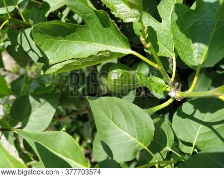 Green Fig On A Branch. Fig Tree Fruit Close-up. Shiny Green Fig In The Garden. Balkans. Production A