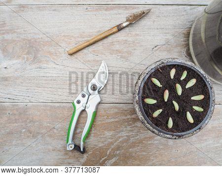 Cuttings And Leaves From A Succulent Sedum Rubrotinctum Rosea In A Small Pot In Order To Propagate