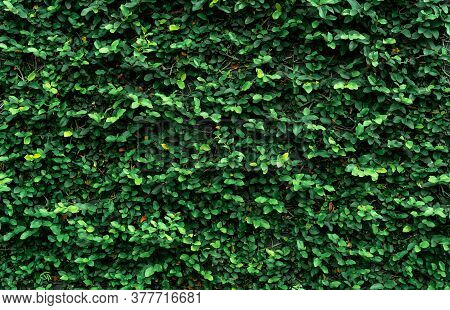 Climbing Plant On The Wall. Small Green Leaves Texture Background. Ornamental Plant In The Garden. E