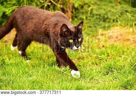 Black Cat In The Green Grass. Black And White Cat In The Green Grass