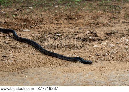 Cobra Or Indian Cobra Or Naja Naja Or Spectacled Cobra Or Asian Cobra Or Binocellate Cobra A Venomou