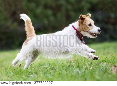 Active Happy Healthy Funny Small Breed Jack Russell Terrier Pet Dog Puppy Running In The Grass
