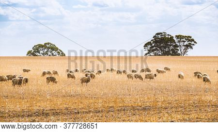 An image of a flock of sheep in South Australia