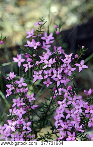 Pink Flowers And Buds Of Australian Native Boronia Ledifolia, Family Rutaceae. Growing In The Royal