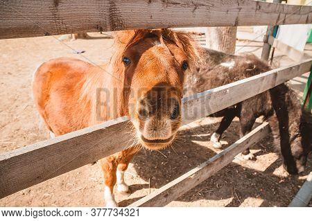 A Red Pony Peeks Out From Behind A Wooden Fence In The Stable. Keeping Domestic Horses On A Home Far