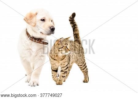 Cute Labrador Puppy And Scottish Straight Cat Standing Together Isolated On White Background