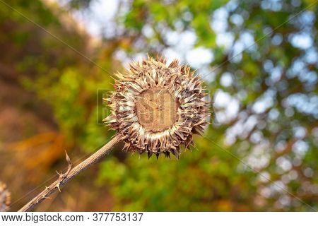 Prickly Dry Plant Amid Greenery, Competition And Survival, Flora And Nature