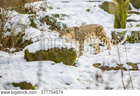 Snow Leopard, Panthera Uncia, Walking In A Rocky Snow Landscape. High Quality Photo