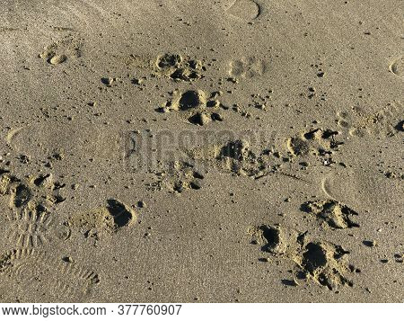 Sand Background Close-up. Footprints, Animal Tracks Of Different Sizes And Shapes On The Sand. Eco C