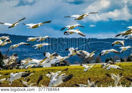 Thousands Snow Geese Flying Skagit Valley Washington