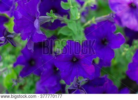 Petunia. A Delicate Flower. The Bush Petunias. Flower Bed.