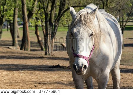 White Horse Looking At Camera. Alone Bred Horse On Pasture. Stallion Standing In Meadow Front View P
