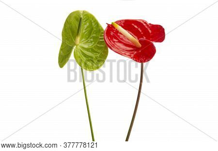 Green Anthurium Flower Isolated On White Background