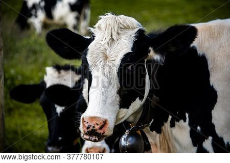 Closeup Of The Muzzle Of A Cow On Monte Altissimo Di Nago In Trento, Italy
