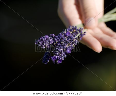 Lavender In Hand