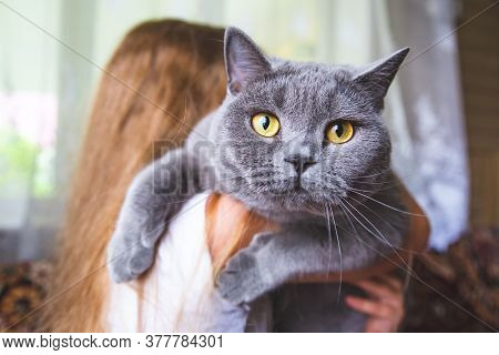Close-up Portrait Of A Beautiful Gray British Cat With Bright Yellow Eyes. A Girl Holds A Fat Purebr
