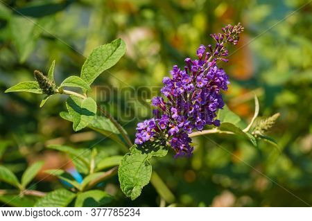 Vitex Agnus-castus Flowers, Also Called Chasteberry, Vitex, Chastetree, Chaste Tree, Abrahams Balm O