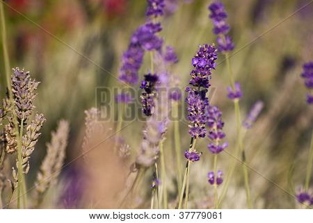 Detail Of Lavender Field