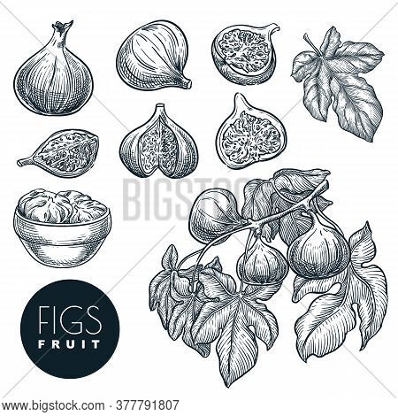 Ripe Figs On Branch, In Dried Figs In Bowl Sketch Vector Hand Drawn Illustration. Sweet Fruits Harve