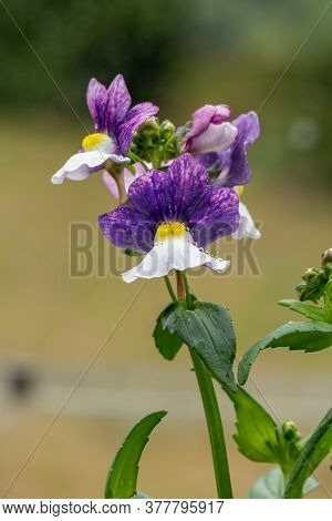 Macro Shot Of Painted Plum Nemesia Flowers In Bloom