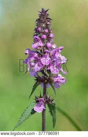Close Up Of A Marsh Hedgenettle (stachys Palustris) Flower In Bloom