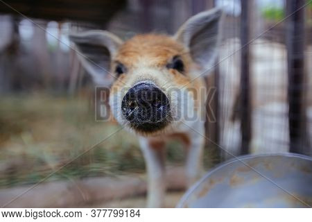Piglet Of Young Boar, Close Up View, Selective Focus