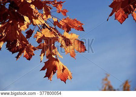 Autumn Oak Leaves Against A Blue Sky